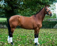 This 16.2hh 11-year-old bay Dutch Warmblood all-round talented mare is safe and straightforward. Currently for sale at £6,500 | For sale on HorseDeals.co.uk
