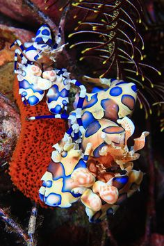 Harlequin Shrimp  Prez has officially decided we should go to Hawaii for our honeymoon! Can't wait to snorkel & see beautiful creatures like these!