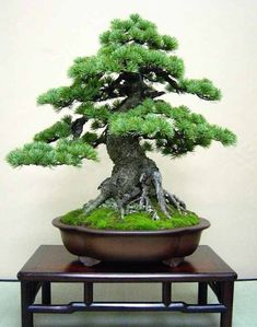 An amazing, HUGE bonsai tree. How would you like one of these included in your home decor? See more bonsai trees like this one at www.nurserytreewholesalers.com THE BEST HOME GARDENING GUIDE IS WAITING FOR YOU.