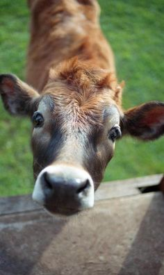"""Farm Animals Are Friends NOT Food! Beautiful cow asks. """"Whatcha doing? Farm Animals, Animals And Pets, Cute Animals, Wild Animals, Beautiful Creatures, Animals Beautiful, Beautiful Eyes, Regard Animal, Fluffy Cows"""
