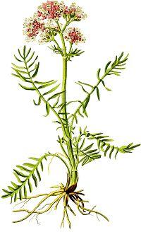 Anti Anxiety Herbs.  Some effective herbal nervines to consider using: Oatstraw (Avena sativa), German Chamomile, Lemon Balm (Melissa officinalis), Skullcap...