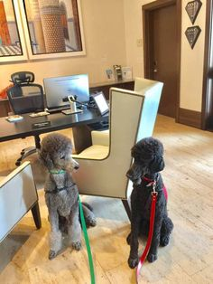 We love our advertising partners. When you see them listed in THE NEW BARKER dog magazine, rest assured, that means they are dog-friendly. Take a look at the proof: Baron and Bentley, doggie assistants to The Alfond Inn Chief Concierge Patricia Clifton. #DogFriendlyGetaways #FloridaDogFriendly #FloridaFunWithDogs #StaycationWithDogs #TheNewBarkerDogMagazine #CliftonPoodles