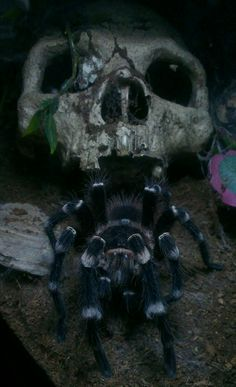 So, Tarantula :D  This is Ziggy, my A.genic... Giant Brazilian White Knee, recently matured and on the lookout for a wife...well he's not even bothered about a marriage certificate, a dirty weekend is what he's after ;) lol