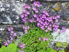 https://flic.kr/p/exLdpf   Fairy Foxglove (Erinus alpinus)   The Pinnacle Well,  The Burren,  County Clare,  Ireland