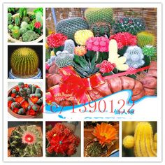 Cactus seeds,mix cactus - 10 pcs seeds mini Bonsai  Succulent Plant for Indoor Perennial
