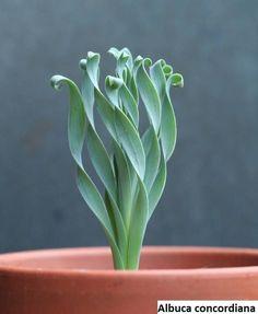 wishlist: Albuca concordiana - garden and plants - . - wishlist: Albuca concordiana – garden and plants – - Unusual Plants, Cool Plants, Air Plants, Garden Plants, Indoor Plants, Foliage Plants, Hanging Plants, Veg Garden, Shade Plants
