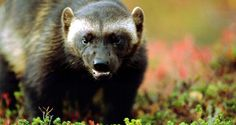 wolverine, (Gulo gulo) Tough Guy, Wolverines, Find Picture, My Spirit, Badger, Brown Bear, My Animal, Mammals, Hunting