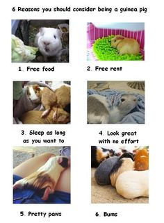 Live your life the guinea pig way! The Effective Pictures We Offer You About Pet care dogs A quality picture … Guinea Pig House, Baby Guinea Pigs, Guinea Pig Care, Pet Pigs, Funny Animal Memes, Cute Funny Animals, Guniea Pig, Guinea Pig Bedding, Cute Piggies