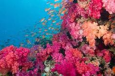 Rainbow Reef, Fiji. Located in the Somosomo Strait between the Fijian islands of Taveuni and Vanua Levu. It is considered one of the most famous dive sites in the South Pacific.