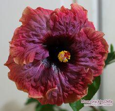 hibiscus Moonstruck