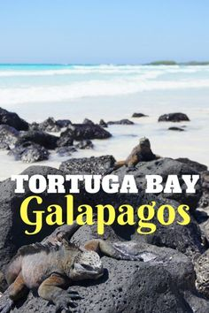 Hanging out with Marine Iguanas at Tortuga Bay, Santa Cruz Island in the Galapagos Islands with kids