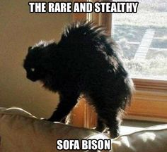 Beware the Sofa Bison! I Can Has Cheezburger? - Page 2 - Lolcats n Funny Pictures - funny pictures - Cheezburger Animal Memes, Funny Animals, Cute Animals, Crazy Cat Lady, Crazy Cats, I Love Cats, Cute Cats, Funny Kitties, Animal Pictures