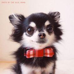 Posh Chihuahua or what