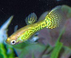 Cool solitary neon yellow on this male Guppy. Ocean Aquarium, Tropical Aquarium, Freshwater Aquarium Fish, Tropical Fish, Yellow Fish, Neon Yellow, Especie Animal, Cool Fish, Aquarium Design