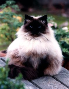 Siamese cats are called vocal breed of cats.