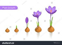 Crocus germination from corm bulb to sprouts to flower. Isolated purple violet flowers on white background. Growing Flowers, Planting Flowers, Mother's Day Cookies, Fleur Design, Flower Henna, Plant Science, Spring Activities, Plant Growth, Cover Pics