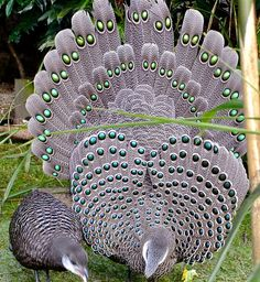 I ❤ birds . . . Grey peacock pheasants. Wow, look closely, so beautiful.