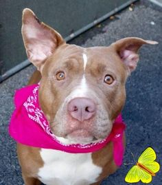Manhattan Center GOBSTOPPER – A1057734 FEMALE, BROWN / WHITE, AMERICAN STAFF MIX, 2 yrs, 6 mos STRAY – STRAY WAIT, NO HOLD Reason STRAY Intake condition EXAM REQ Intake Date 11/13/2015 http://nycdogs.urgentpodr.org/gobstopper-a1057734/