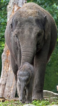 'Nhi Linh' the baby elephant with her mother, 'Trong Nhi,' at Rotterdam Zoo (Diergaarde Blijdorp) - photo by j.a.kok