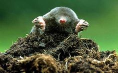 Moles   Moles are celebrated for their controversial earthworks - What to make ...