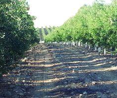 www.oleoalmanzora.com aceite de oliva virgen extra. campos de pulpí, tierras de andalucía.  Extra Virgin Olive Oil, Aceite de Oliva virgen extra, Arbequina.