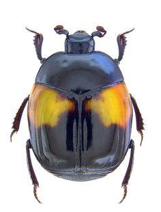 Asolenus julietteae  (Histeridae)