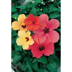 9a2f2ca107 Multicolor Hibiscus Flowering Shrub in Pot at Lowe's. Tropical evergreen  flowering shrub with large beautiful funnel shaped flowers available in all  colors ...