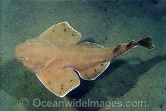 angel shark - Google Search
