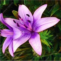 True lily bulbs, lily flower, (not lily seeds), flower lilium bulbs, Faint scent, bonsai pot plant for home garden - 2 bulbs