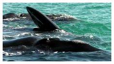 ballenas en puerto de San Antonio este, rio negro, patagonia argentina