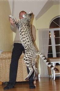 Savannah cats are considered one of the larger races of domesticated cats. A Savannah cat's body size is higher, slenderer, and larger th. Crazy Cats, Big Cats, Cool Cats, Cats And Kittens, Silly Cats, Kittens Meowing, Cats Bus, Funny Cats, Gatos Serval