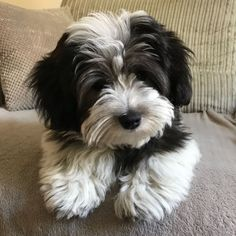 Havaton (hybrid) Havanese x coton de tulear We have 5 beautiful puppies up for sale. Mom is a Havanese & Dad is a coton de tulear making beautiful Hav. Havanese Puppies, Cute Puppies, Cute Dogs, Dogs And Puppies, Maltipoo, Doggies, Teacup Puppies, Goldendoodle, Coton De Tulear Dogs