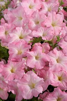 CELEBRITY CHIFFON MORN Petunia Seeds - Best Wet Tolerance, High Quality & Germination, Fresh Seed, Strong Color (30 - 35 seeds)