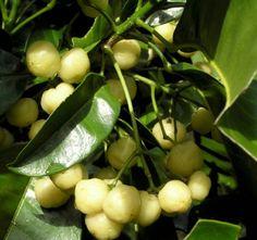Lemon Aspen, Australian native fruits that have just been harvested