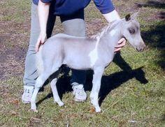 Silver Dapple Foals - Miniature Horse Forum - Lil Beginnings Miniature Horse Forums - Page 2