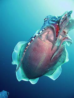 Hooded cuttlefish  Sepia prashadi.