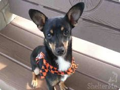 URGENT -  DOUGLAS  Pet ID: A1281202  Sex: N  Age: 1 Year  Color: BLK/TAN - WHITE  Breed: CHIHUAHUA SH - MIX  Kennel: 2  OC ANIMAL CARE, 561 The City Drive South, Orange, CA 92868, 714-935-6848  — hier: OC Animal Care https://www.facebook.com/media/set/?set=a.10152607637815223.1073741825.315830505222&type=3#!/photo.php?fbid=10153438650805223&set=a.10151287465740223.802367.315830505222&type=3&theater