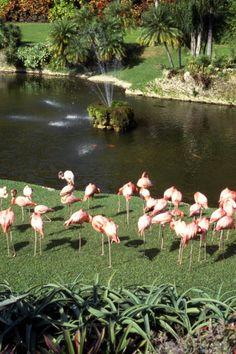 The flamingos of Parrot Jungle and Gardens (1988). | Florida Memory