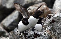 Le Mergule nain trouverait moins de nourriture à cause du réchauffement climatique | Novembre est un bon mois pour observer cet oiseau marin qui pourrait souffrir des effets du changement climatique.  Photo de Patricia David prise au Spitzberg