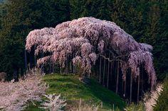 Imagen de tree, nature, and pink