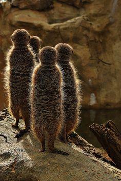 Meerkats | Flickr - Photo Sharing!