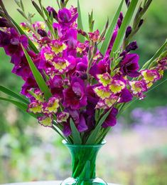 Buy Gladiolus 'Velvet Eyes' Home Flowers, Cut Flowers, Types Of Eyes, Gladioli, I Give Up, Types Of Soil, Indoor Plants, Perennials, Tulips