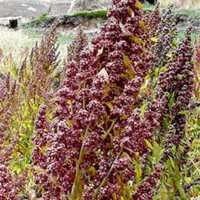 """Quinoa (keen-wah), while most oftentouted as a grain, is actually a seed. It is more closely related to sesame seeds and chia than it isto wheat or rice. However, it is very""""grain-like""""..."""