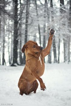 Ridgeback ~ Hi 5! by Polciak.deviantart*