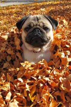 doggy dog / pug / autumn / leavesPug (disambiguation) The pug is a breed of dog. Pug or Pugs may also refer to: Black Pug Puppies, Cute Puppies, Cute Dogs, Dogs And Puppies, 15 Dogs, Doggies, Raza Pug, Pug Accessories, Pugs And Kisses
