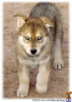 Wolf Husky Hybrid Puppies this is the back up to the german shepherd hybrid...ill go for one of these too.