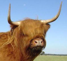 Bairnsley Highlands - Genetic analysis of Highland Cattle coat colours.