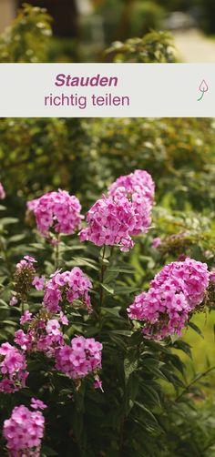Stauden teilen Tips for sharing perennials and infos which shrubs may not be shared. Raised Vegetable Gardens, Vegetable Garden For Beginners, Vegetable Garden Design, Gardening For Beginners, Gardening Tips, Perennial Vegetables, Planting Vegetables, Garden Types, Garden Care