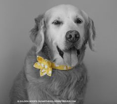 Golden Woofs: Sugar's Paw House Flower Dog Collar