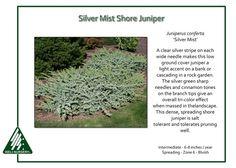 Juniperus-conferta-SilverMist
